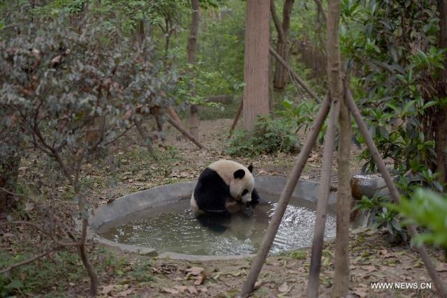 Doi ursi panda imprumutati la Hong Kong 2