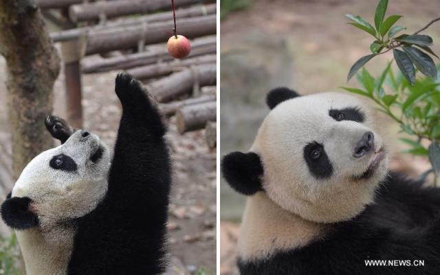 Doi ursi panda imprumutati la Hong Kong 6