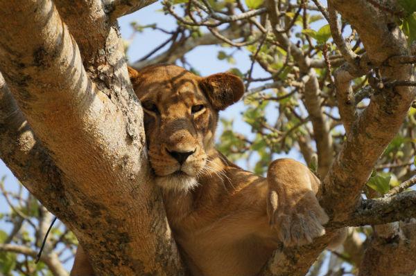 boomklimmende-leeuw-lake-manyara-tanzania