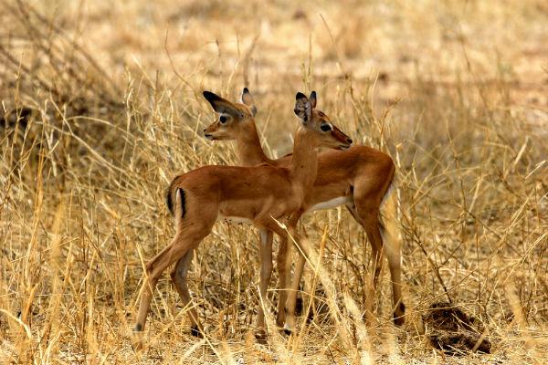 tarangire-national-park-tanzania-impala