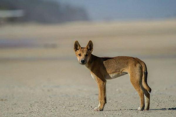 Yeah! Dingo gespot op Fraser Island. Absoluut een van de mooiste plekken op aarde