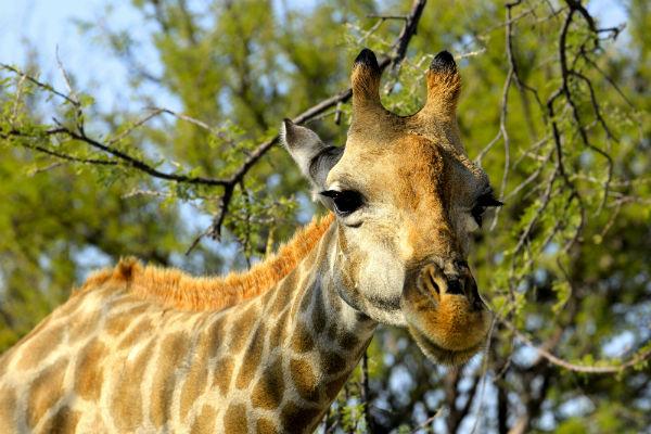 Hallo zij de giraf op safari in afrika