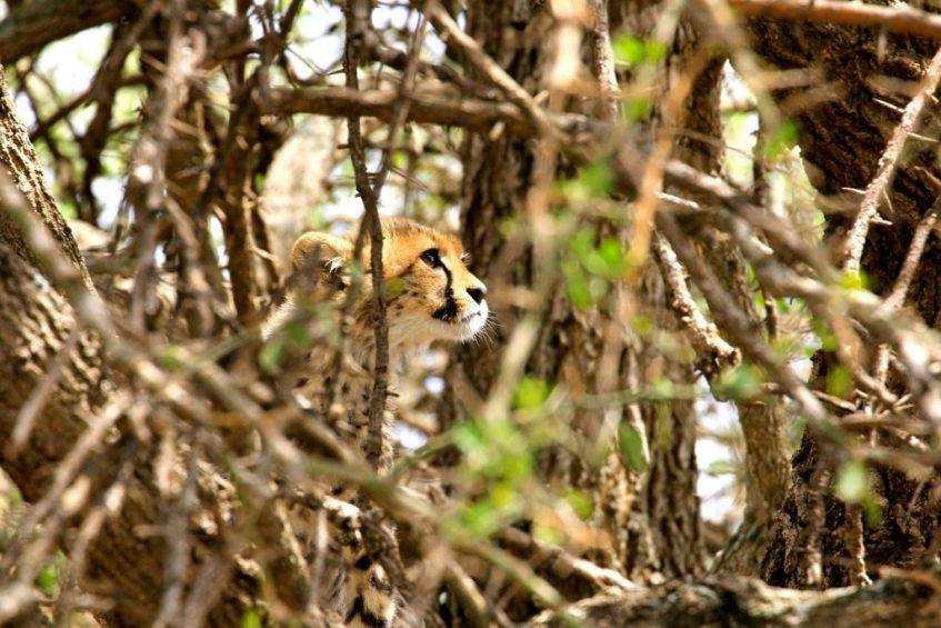 Baby Cheetah in Ndutu Tanzania