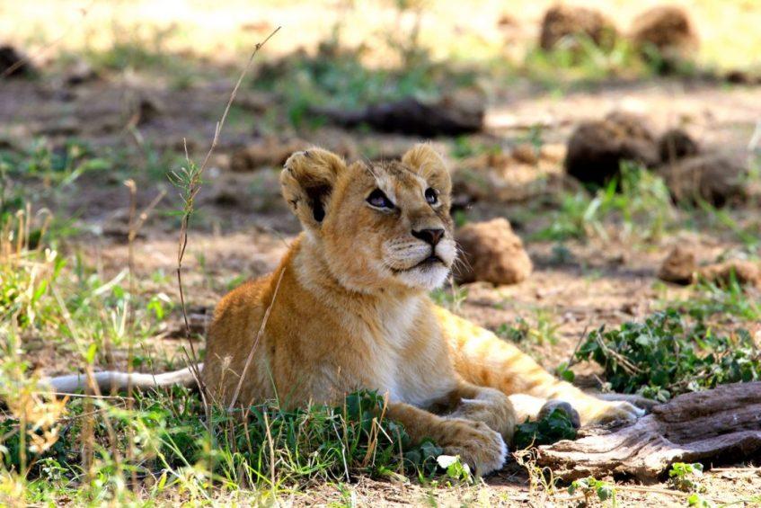 Baby leeuw in de Serengeti in Tanzania