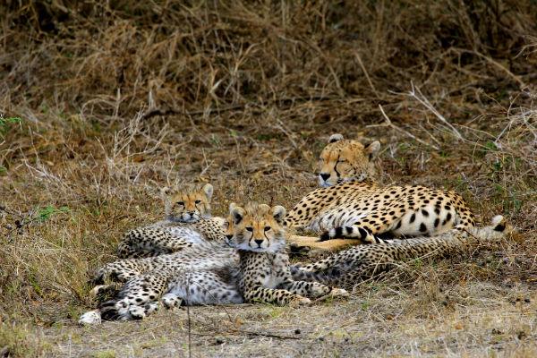 cheetah-met-babies-ndutu-noord-tanzania
