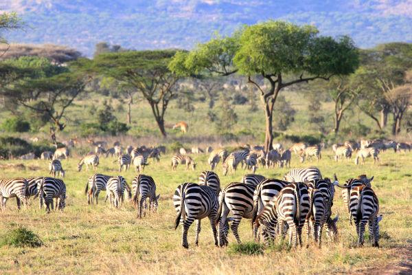 serengeti noord tanzania zebras