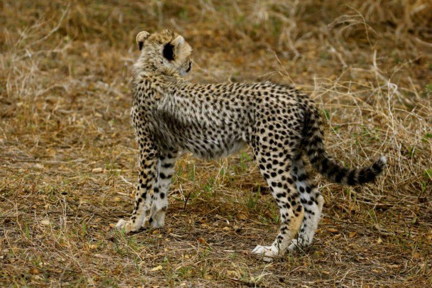 Cheetah jong in Ndutu gebied in Tanzania