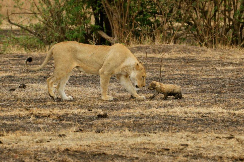 Moeder leeuw en welpje in de Ngoronogoro Krater in Tanzania