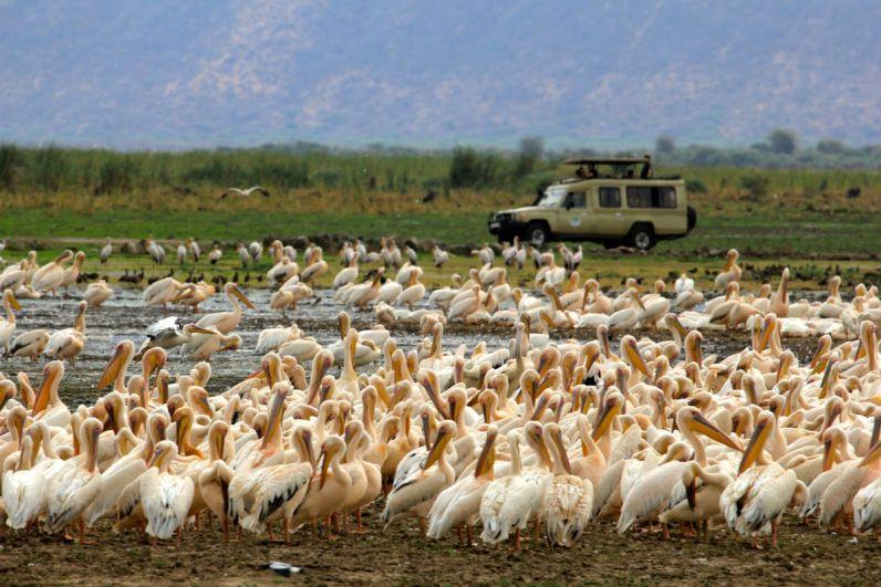Ontzettend veel pelikanen bij Lake Manyara National Park in Tanzania