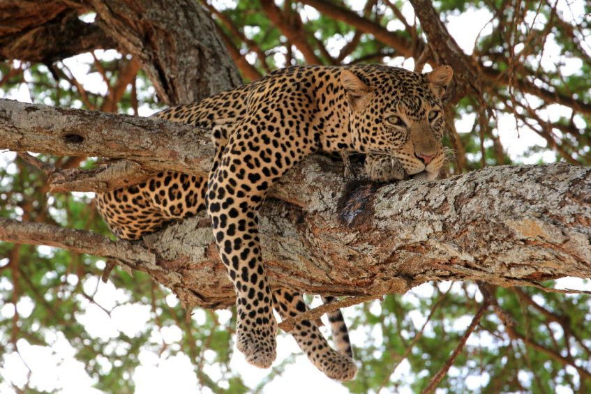 Chillend luipaard in een boom in Tarangire National Park Tanzania