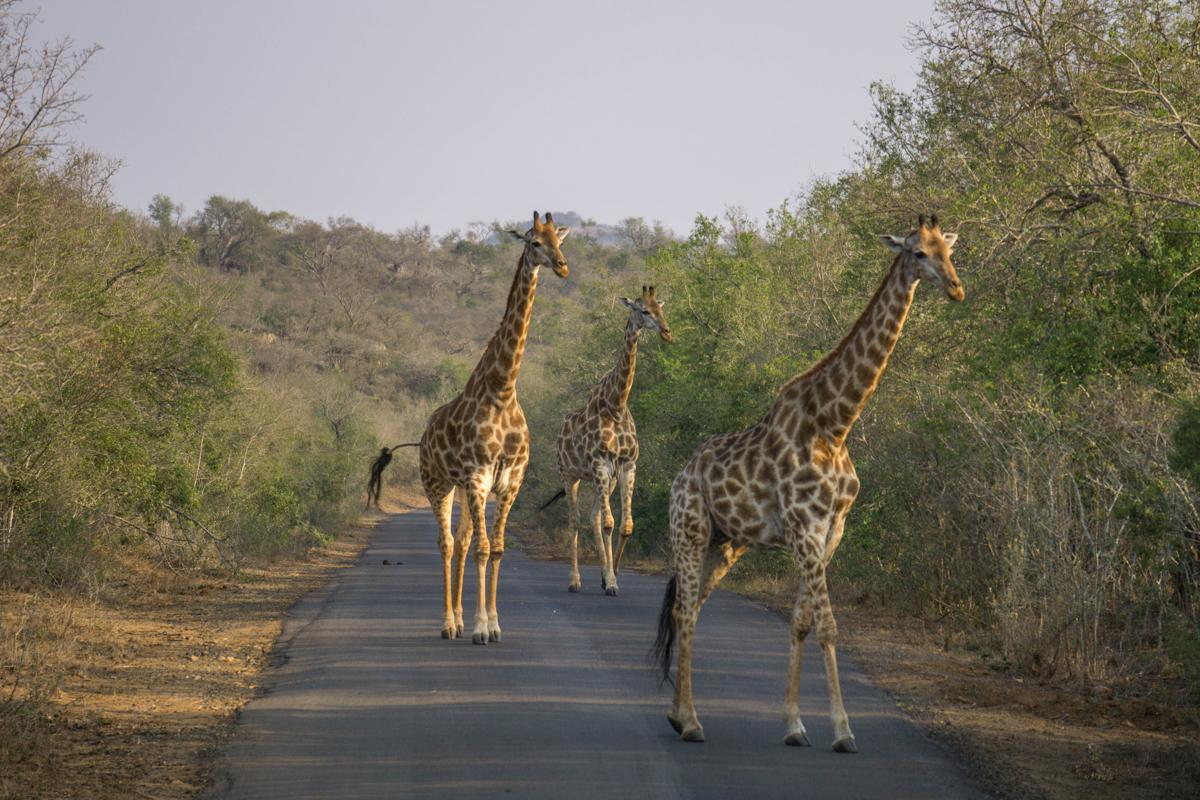 Bezoek zeker het Kruger Park als je een mooie roadtrip door Zuid Afrika maakt