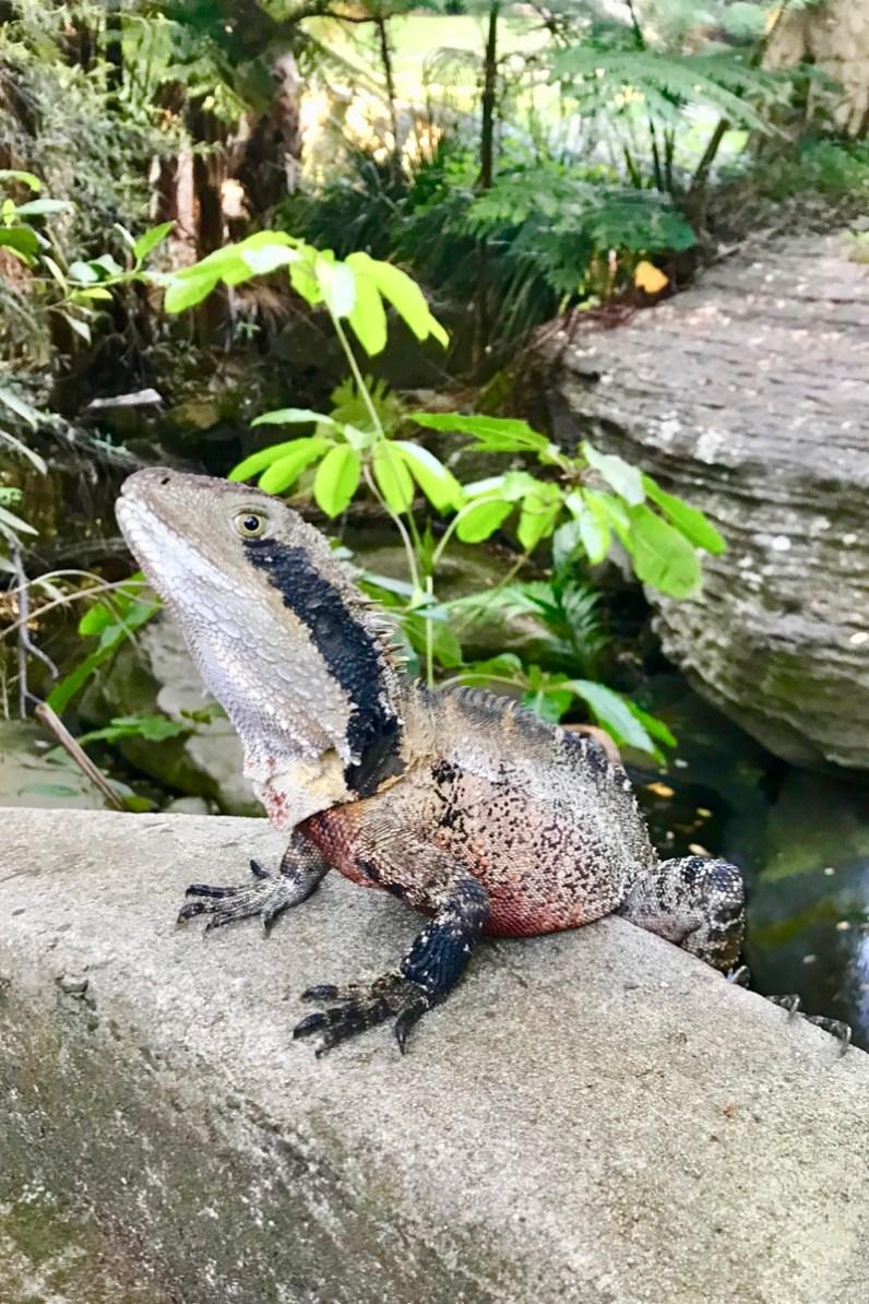 To do in Sydney wandel van Rose Bay naar Watson Bay en stop onderweg voor water dragons