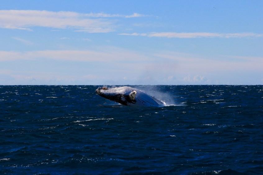 De winterperiode is ideaal voor het spotten van bultrugwalvissen in Jervis Bay