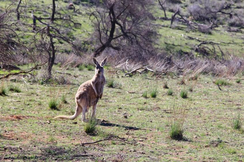 Kangoeroe tijdens bezoek Flinders Ranges