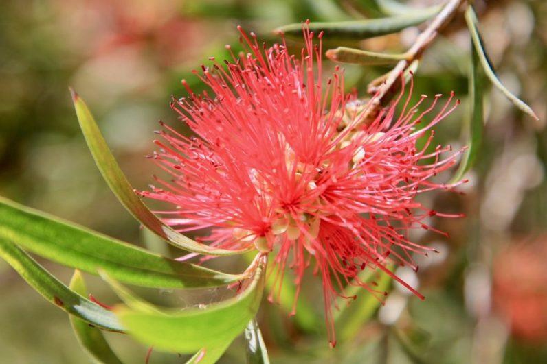Wilde bloemen in Lesueur National Park in West- Australie