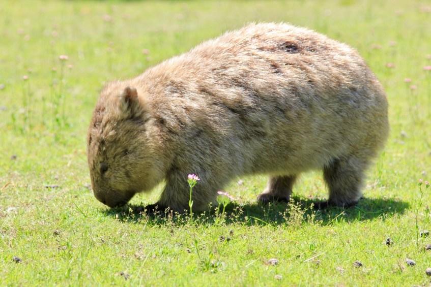 Op Maria Island vind je ontzettend veel wombats