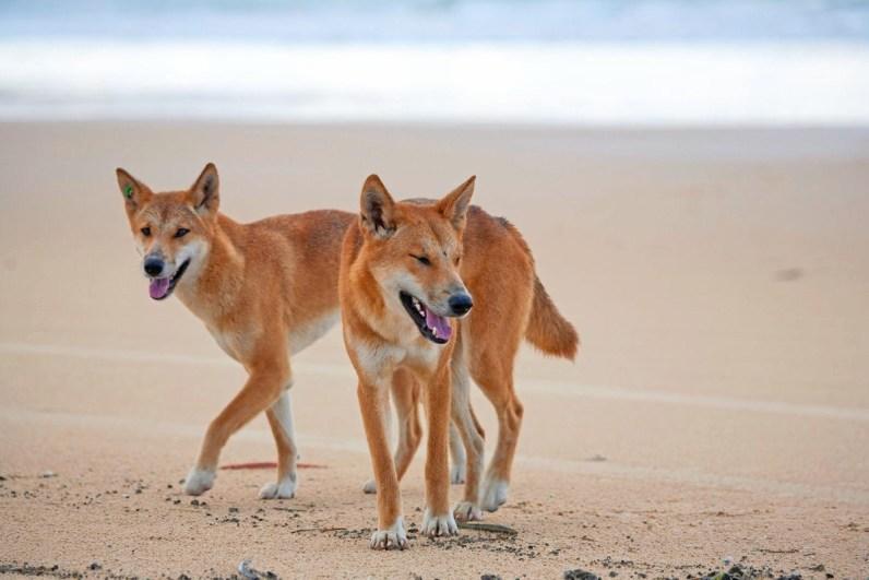 Fraser dingo unieke dieren in australie