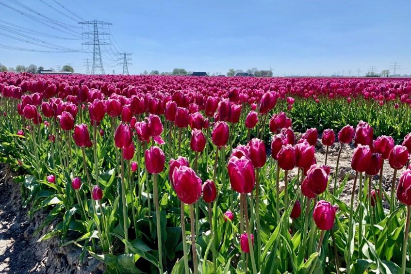 Dit zijn de mooiste tulpenvelden in Groningen