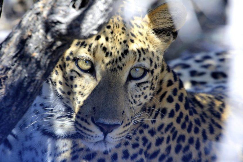 In Etosha National Park maakte ik deze foto van een luipaard in de bossen vlakbij de camping