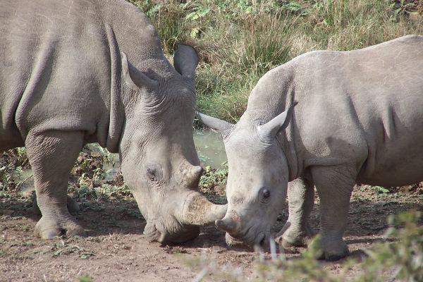 Schattige moeder neushoorn met haar jong