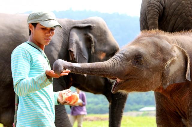 De mahout voedt de jongste olifanten