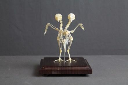 two headed bird skeleton 36