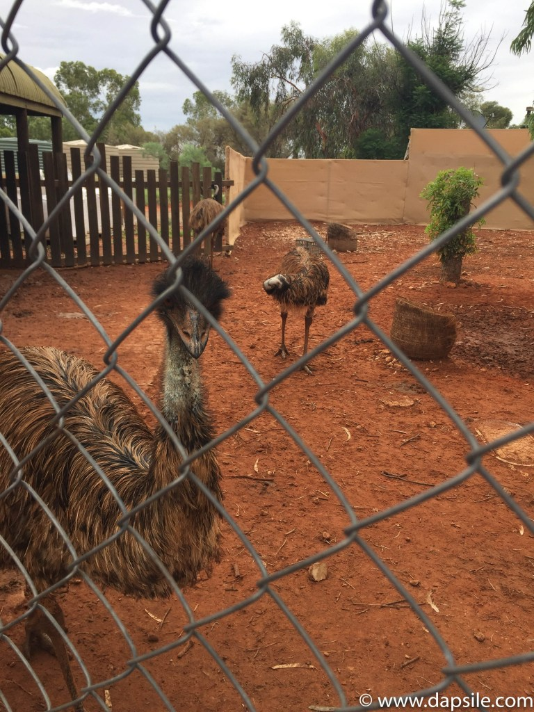 Emus on the tour from Alice Springs to Uluru