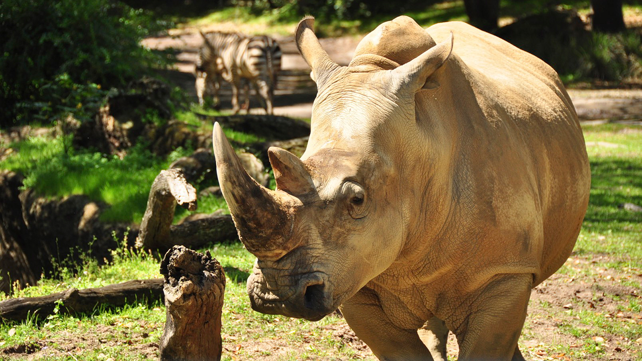 Get Up Close and Personal With a Rhinoceros at Disney's Animal Kingdom Starting November 1st With New Tour!