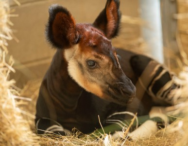 In honor of World Okapi Day, Walt Disney World Resort in Lake Buena Vista, Fla., today announced the birth of an okapi at Disney's Animal Kingdom Lodge. The calf was born Oct. 1, 2018, and weighed 54 pounds. The calf will be introduced onto the Disney's Animal Kingdom Lodge savanna in the coming months. Guests visiting Disney's Animal Kingdom Lodge may gaze out on a savanna featuring more than 30 species of African wildlife, including zebras, giraffes, gazelles and more. (David Roark, photographer)