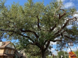 Liberty Tree in Liberty Square at Magic Kingdom-4
