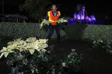 Disneyland Resort horticulture manager Luis Gomez prepares a poinsettia garden at Disneyland park in Anaheim, Calif., Nov. 6, 2018, during the holiday transformation of Disneyland Resort. (Joshua Sudock/Disneyland Resort)