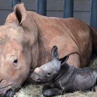 Disney's Animal Kingdom Celebrates Birth of Baby Endangered White Rhino