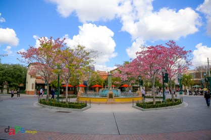 A look at the fountain surrounded by blooming Tabebuia trees in Disney California Adventure