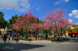 The Tabebuia trees in bloom in Carthay Circle