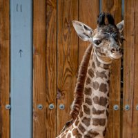 New Baby Boy Giraffe Welcomed to Disney's Animal Kingdom
