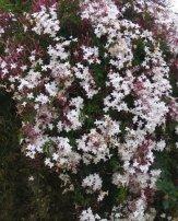 pink-jasmine2
