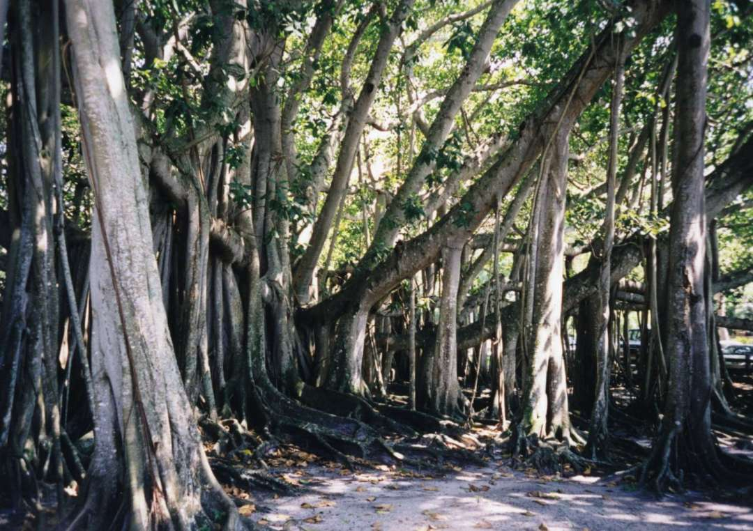 The Inventor's Banyan {Gift from the Sea 6: Argonauta}