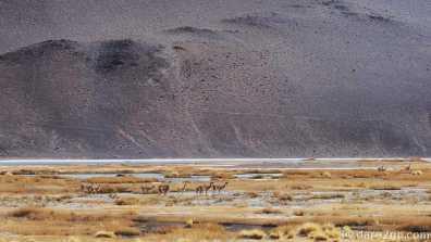 Paso San Francisco, Argentina: shy Vicuñas grazing in salt flats