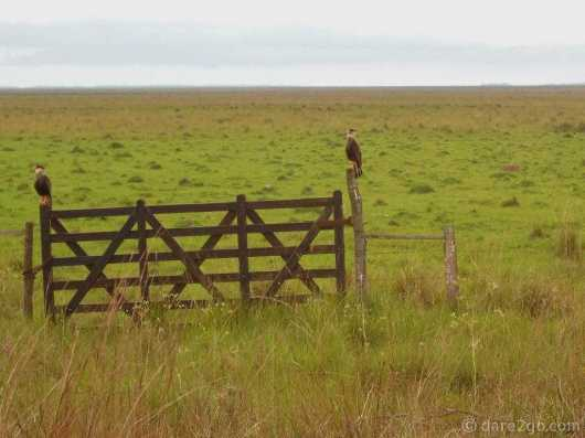 On the way to Carlos Pellegrini: 2 Crested Caracaras make nice fence posts