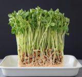 よく食べるけど「豆苗」って育つと何になるか知ってる?