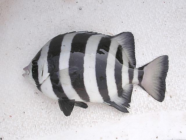 夢幻之魚 石鯛繁殖成功 市場見蹤跡 | 達人磯研會