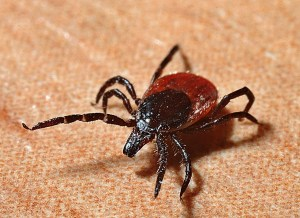 Ticks are one of the bugs that carry Lyme