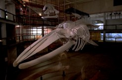 A model Blue Whale skeleton in the chaotic Izikio Museum.