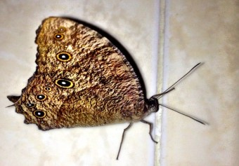 This dotted butterfly came into my kitchen when I was cooking, I hurried to get my phone and have a snap of it.