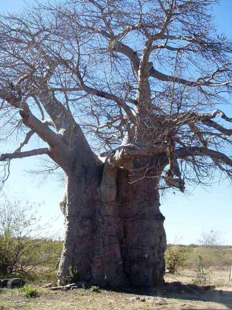 Very huge Baobab Tree!