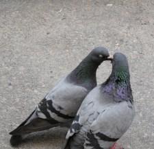 Pigeons Seen in Ystad, Sweden
