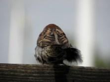 House Sparrow Seen in Karlskrona, Sweden