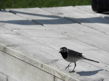 White Wagtail Seen somewhere in Sweden