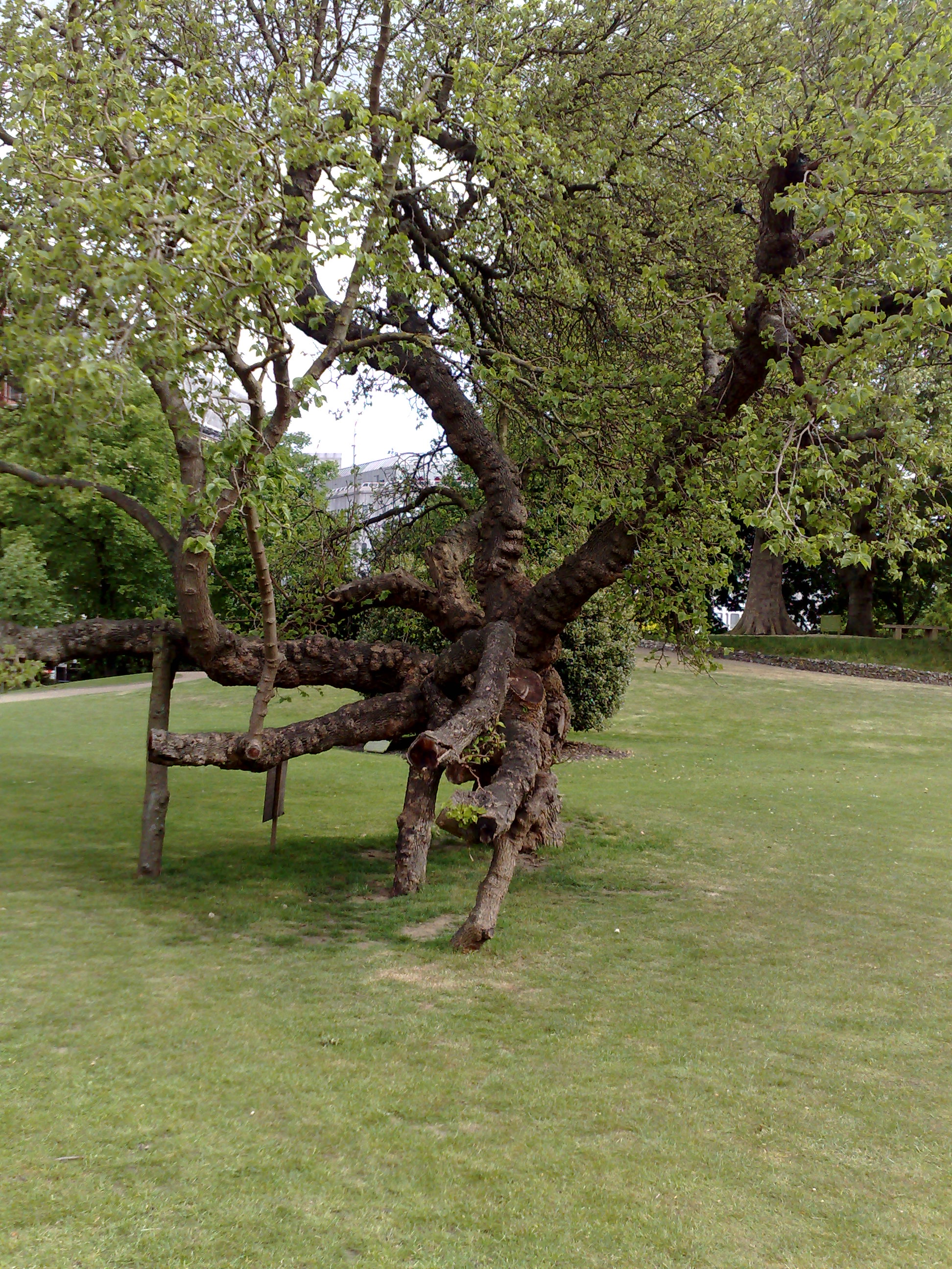 A mulberry bush (from Victorian times)