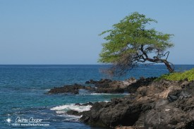 A kiawe tree hangs over a rock Kohala coastline